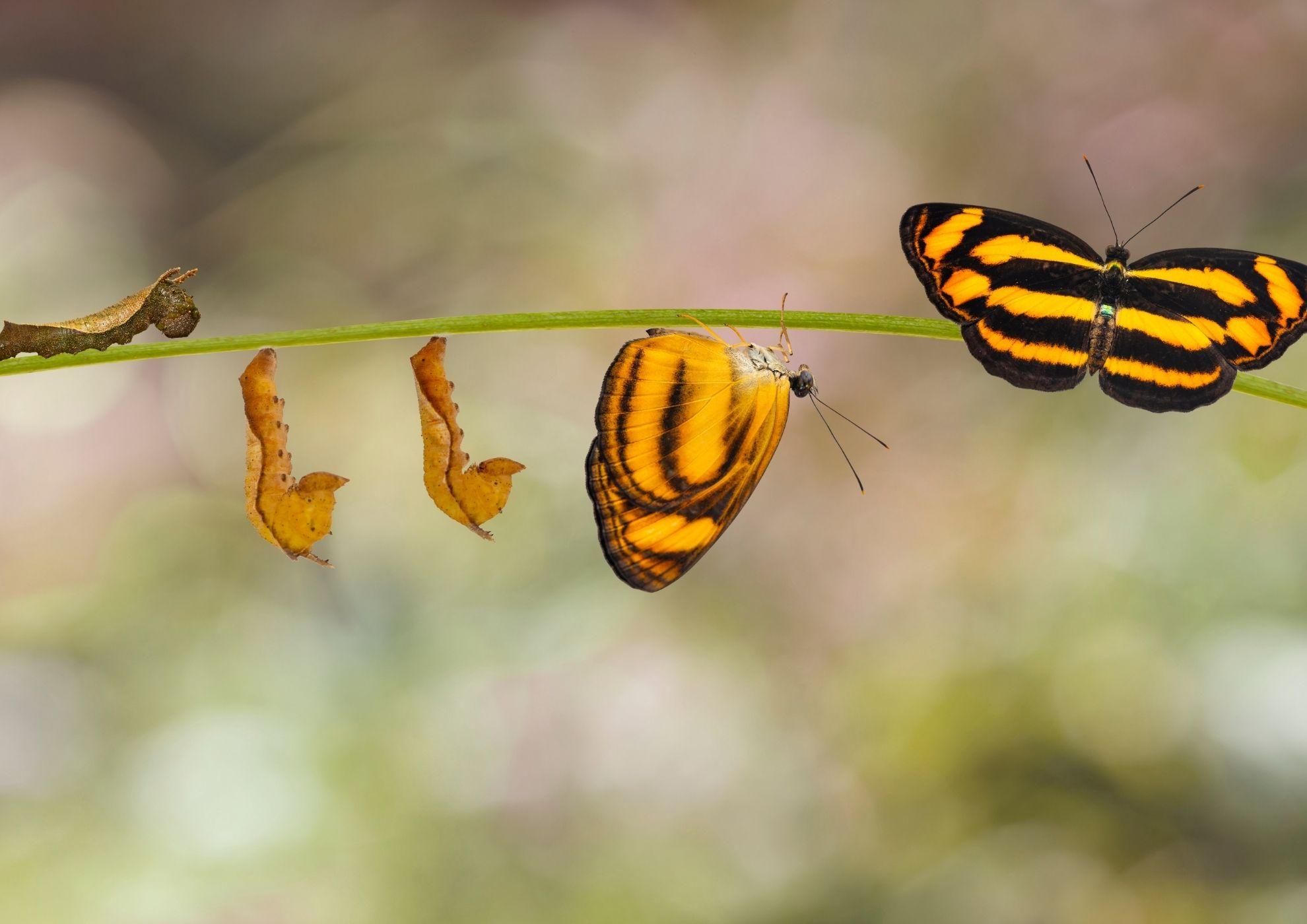 Evolución de la mariposa